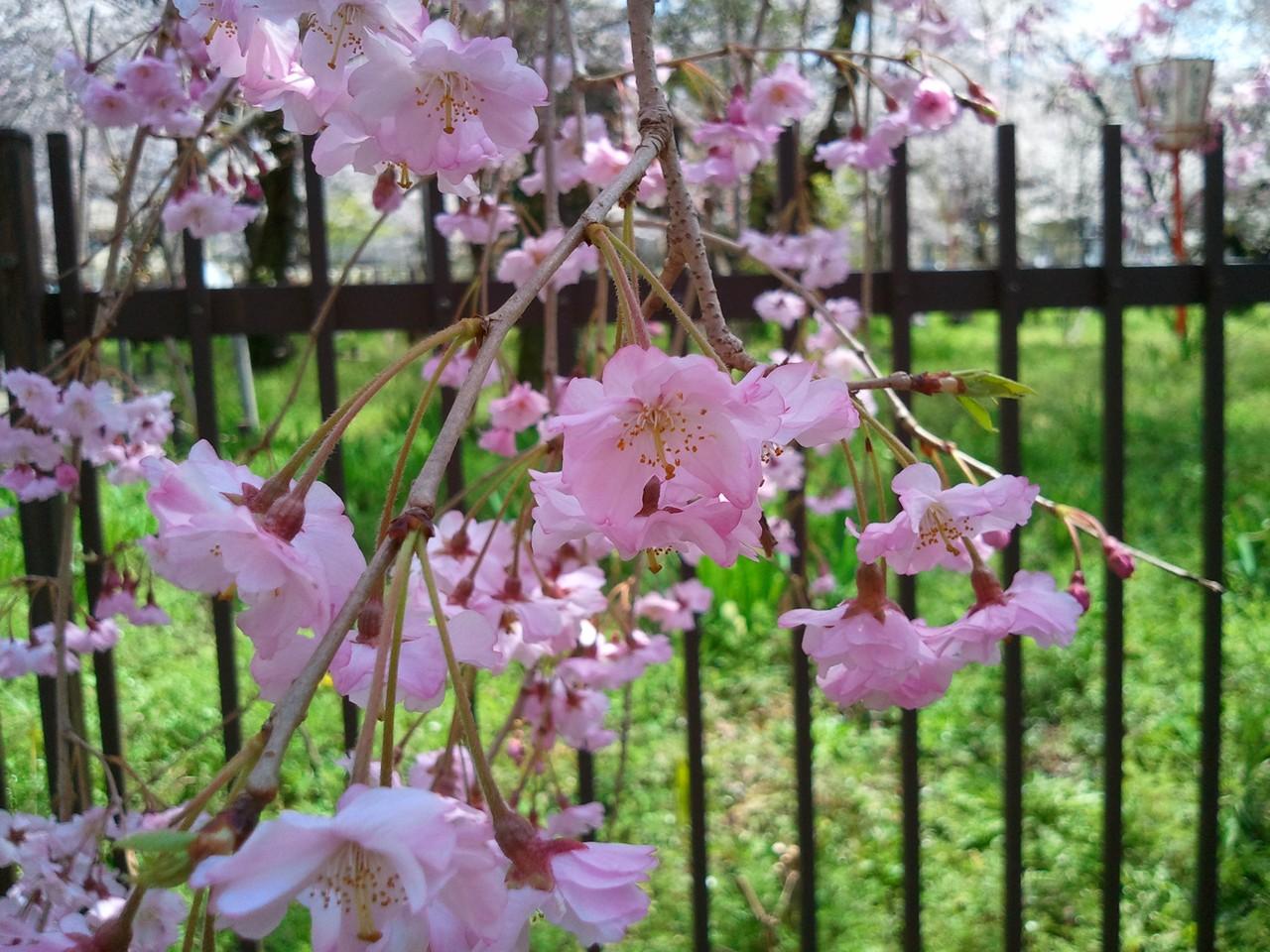 平野神社櫻花1