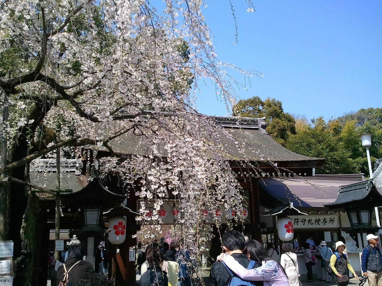 平野神社櫻花2