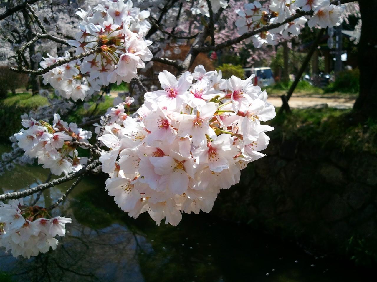 哲學之道櫻花2