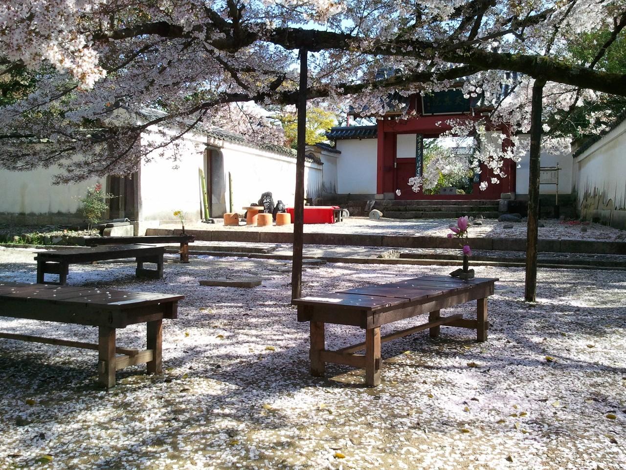 萬福寺櫻花2