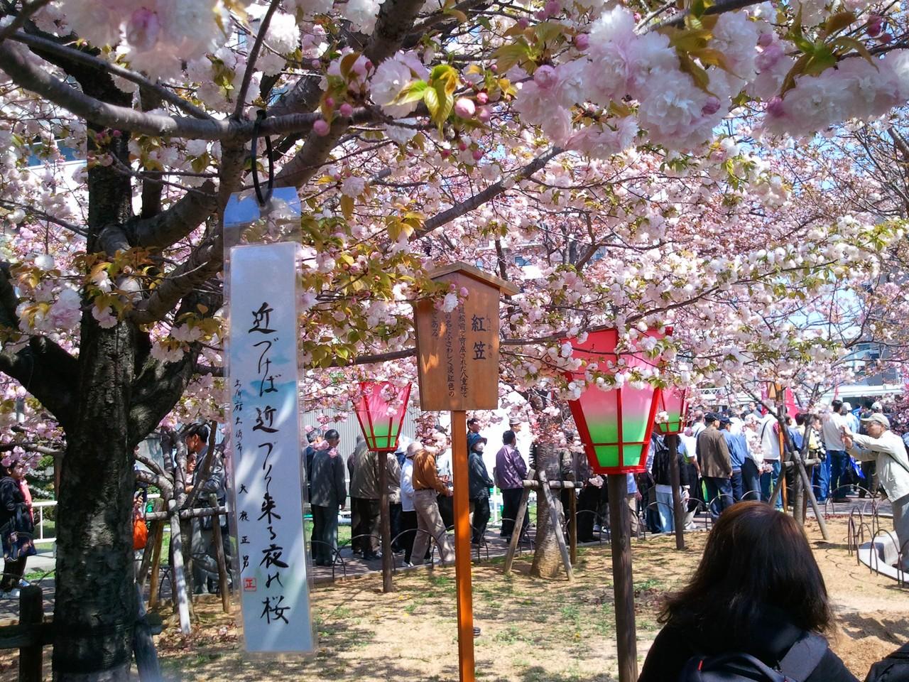 造幣局櫻花-紅笠