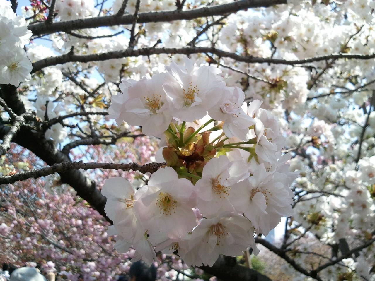 造幣局櫻花