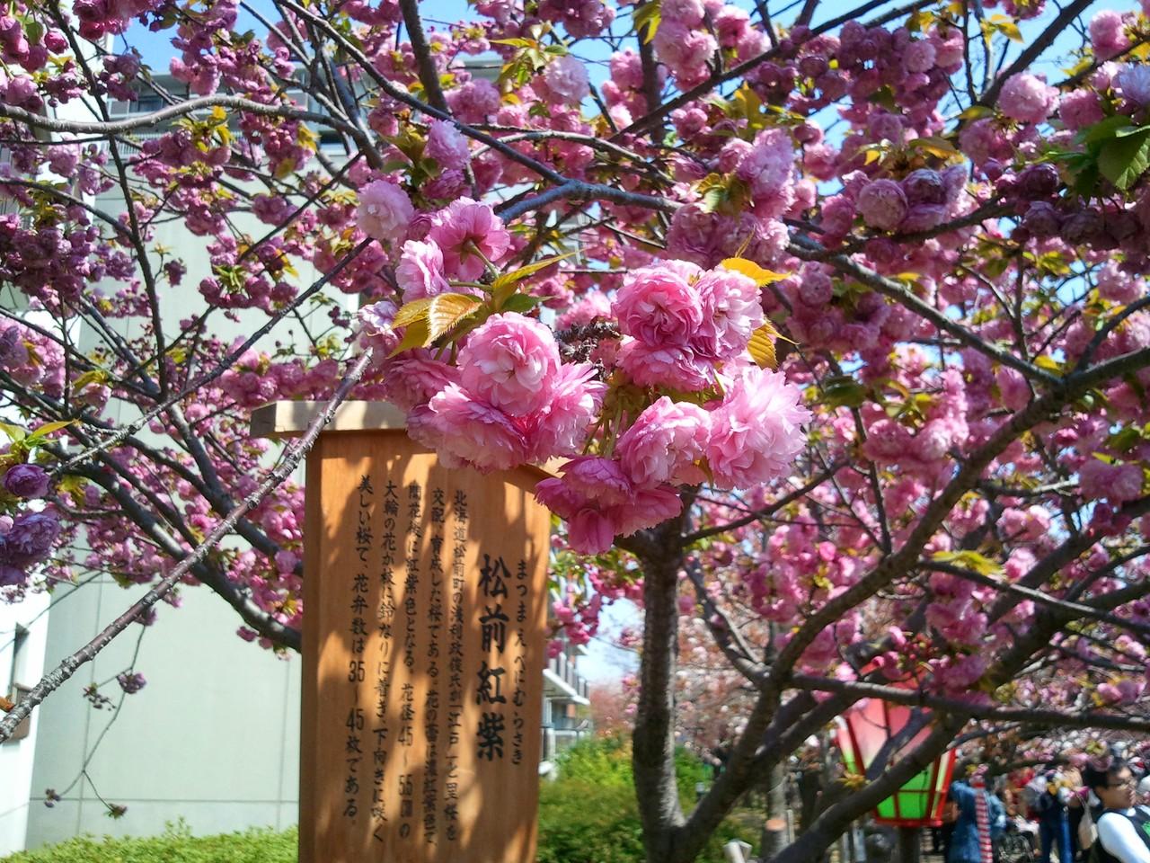 造幣局櫻花-松前紅紫