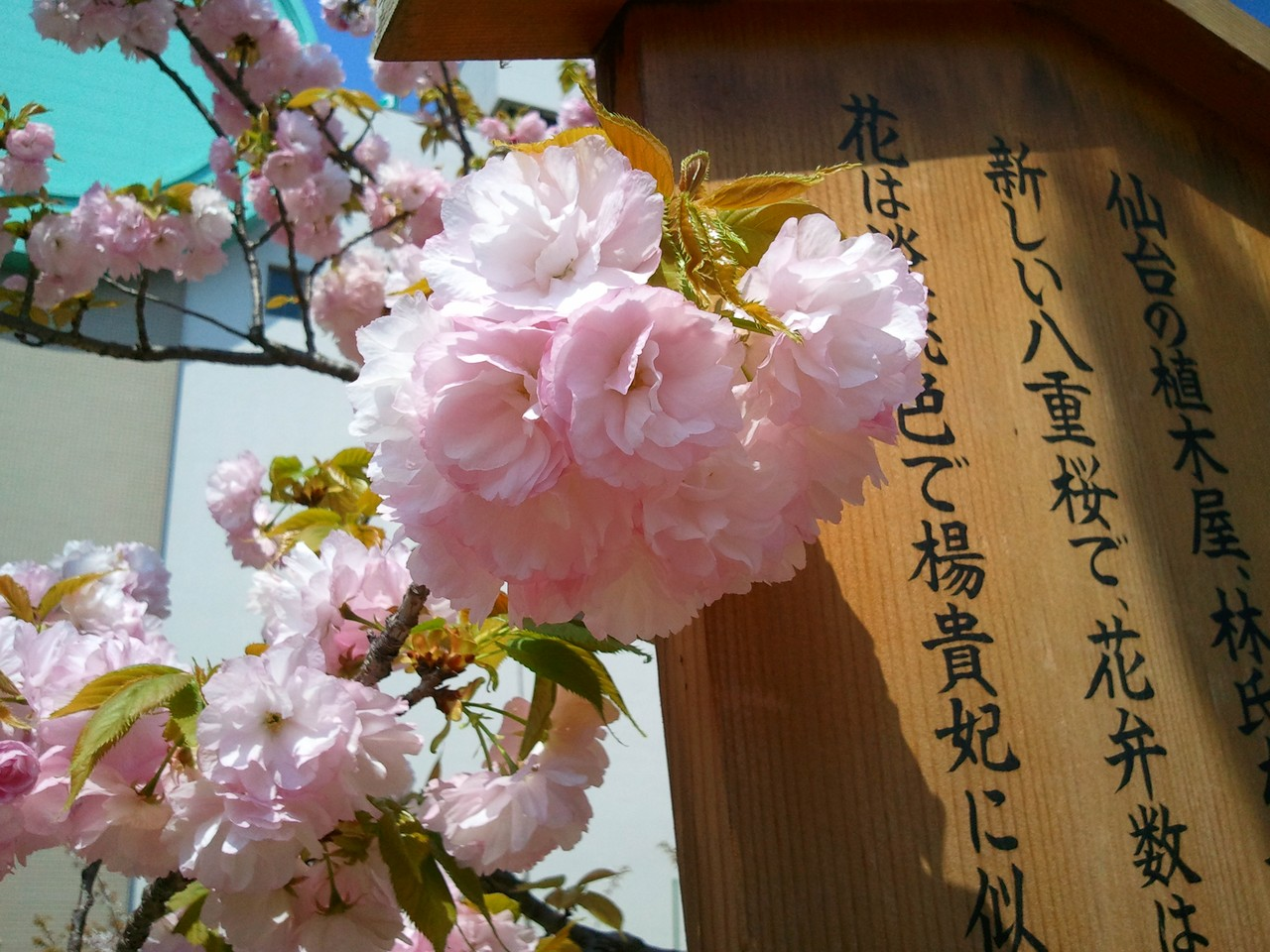 造幣局櫻花-八重櫻