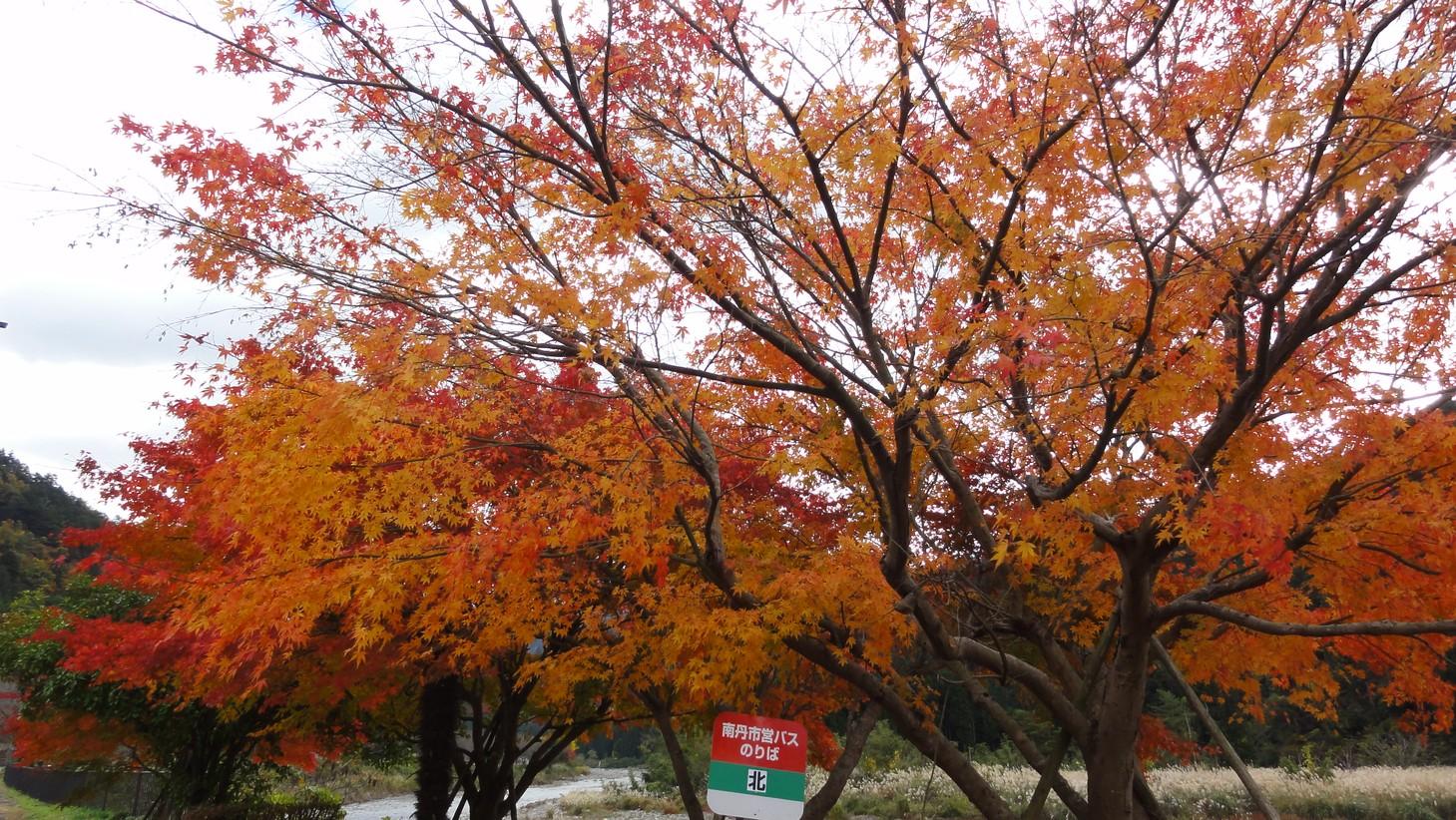 巴士站旁紅葉