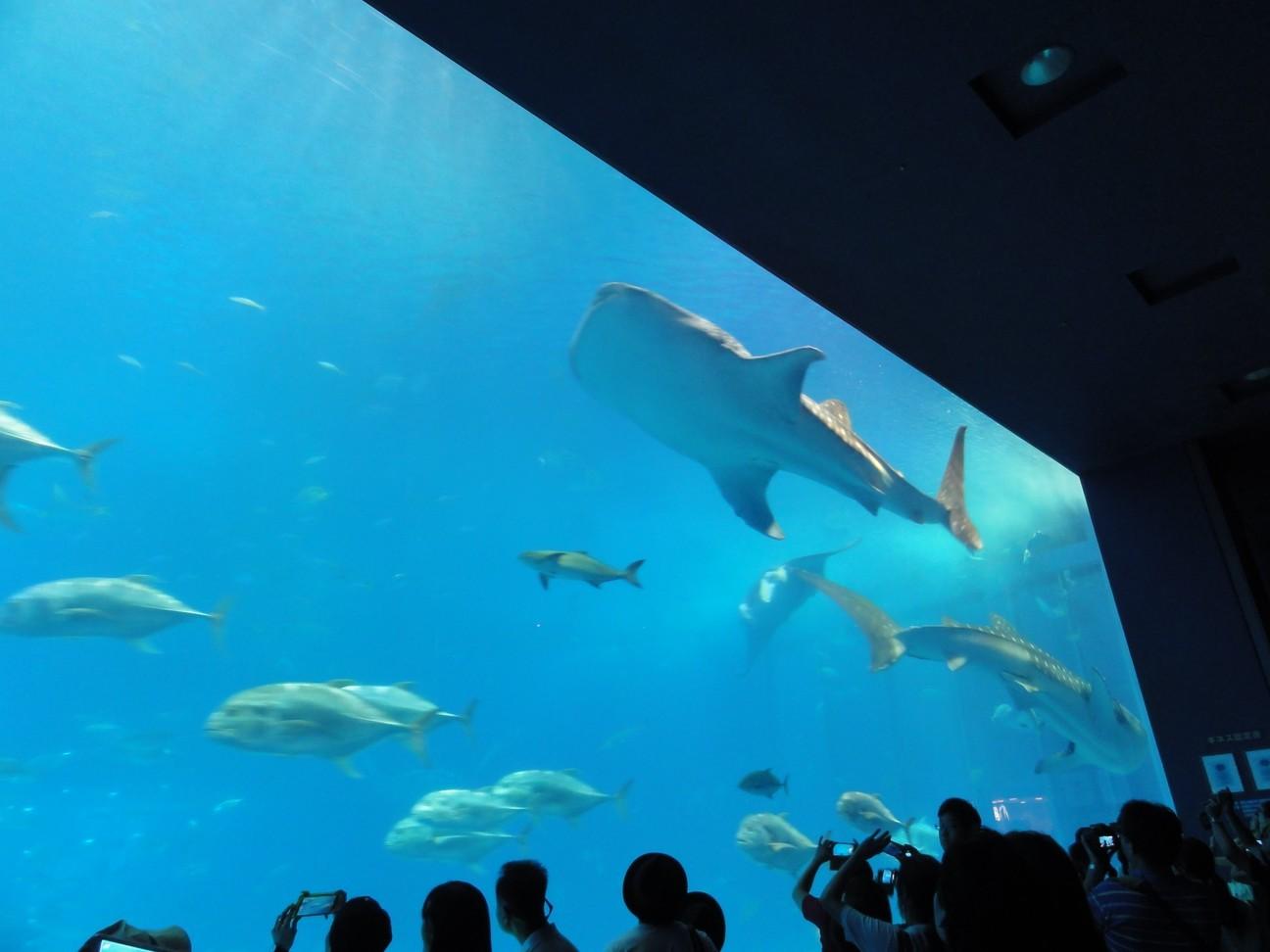 水族館看板魚類 - 鯨鯊