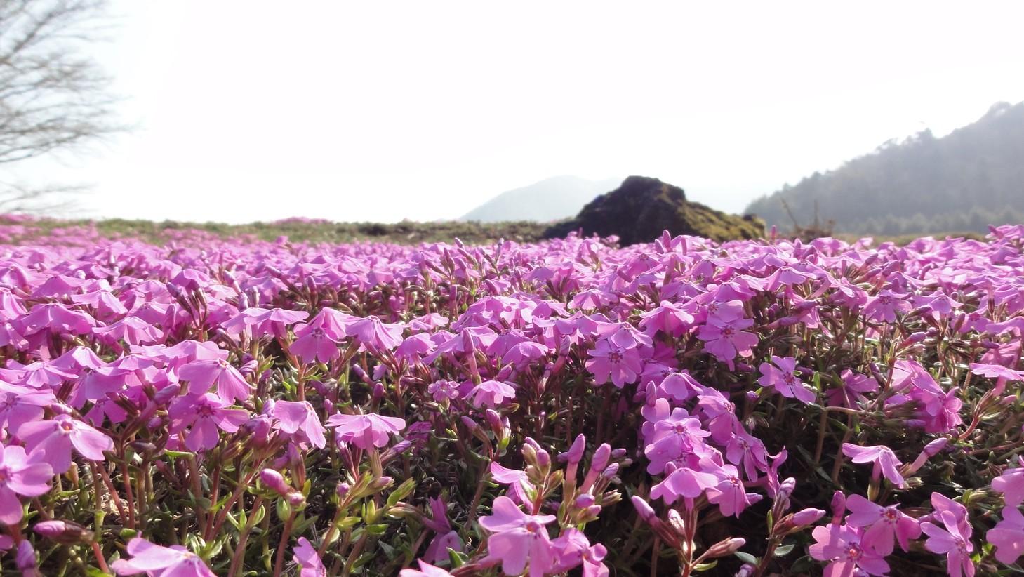 富士芝櫻公園
