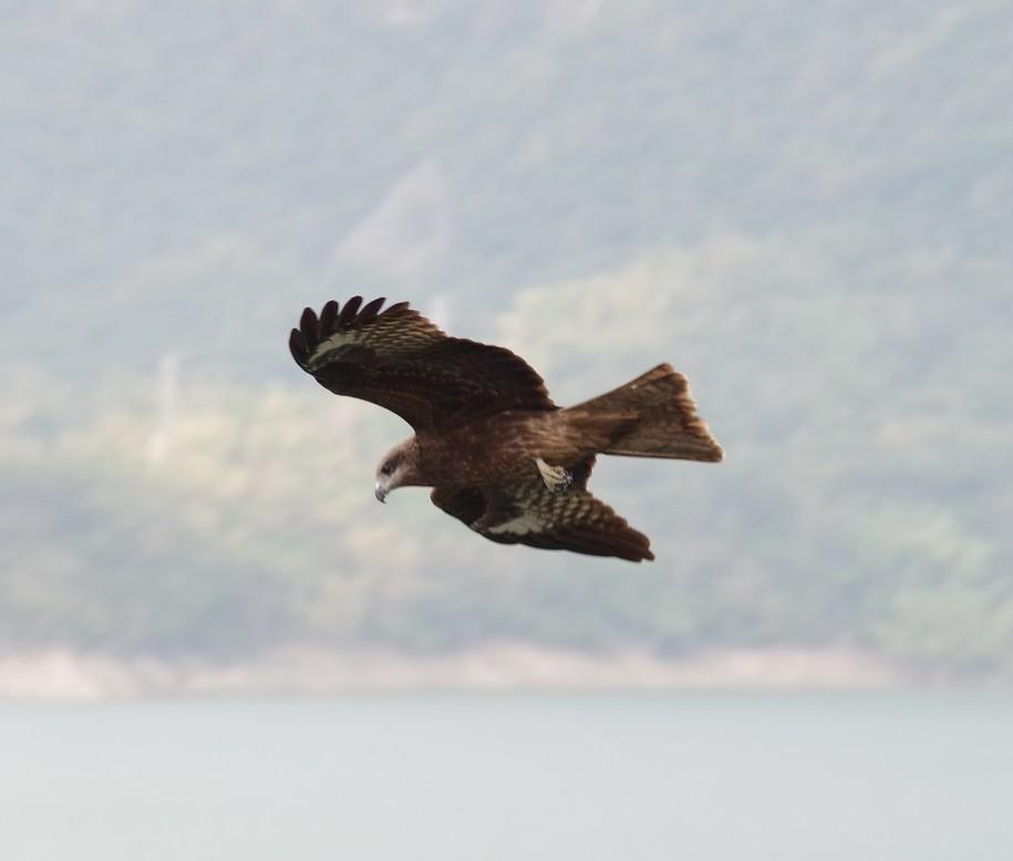 在水庫區上空盤旋的老鷹
