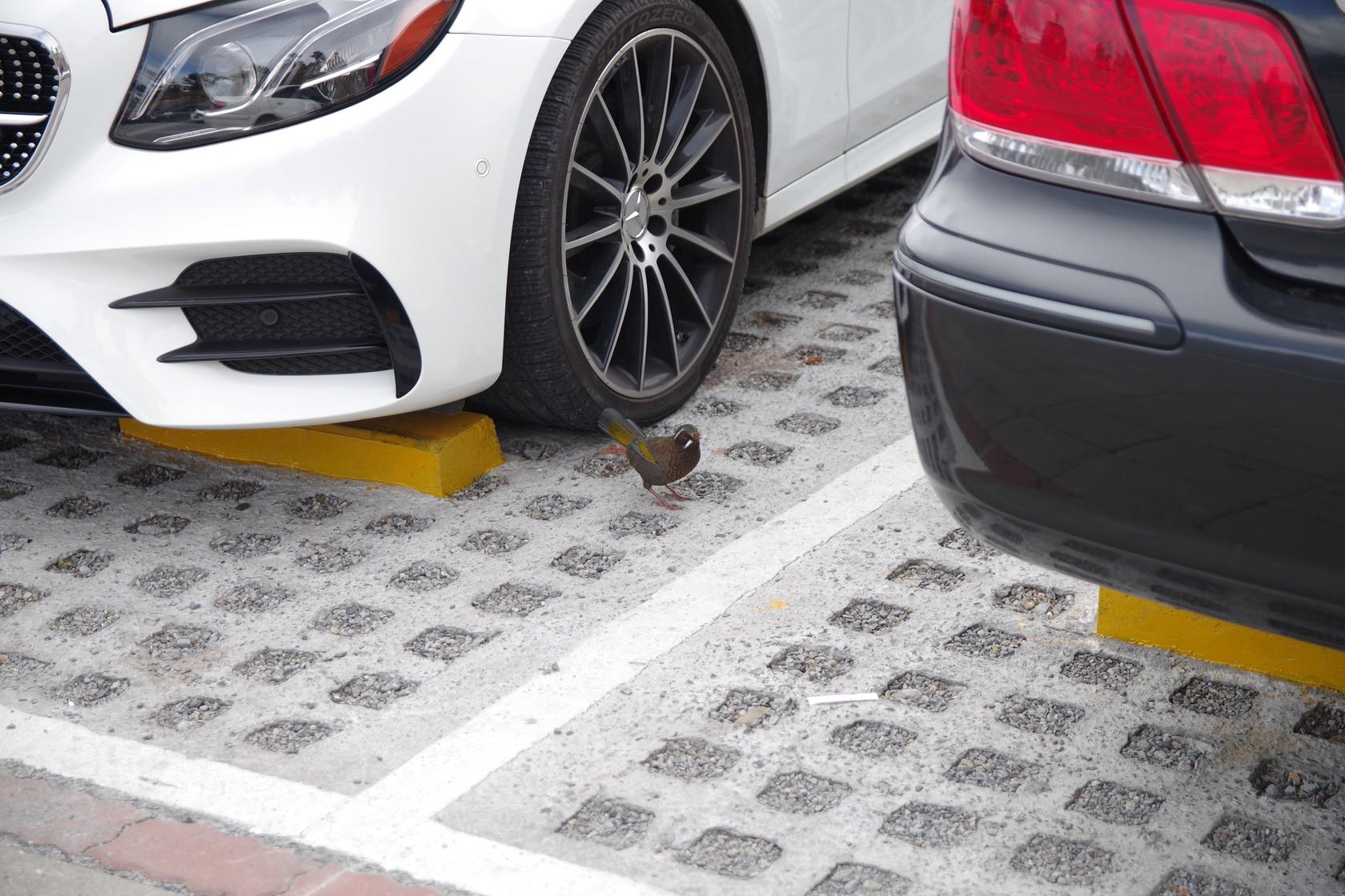 在武嶺停車場覓食的小鳥