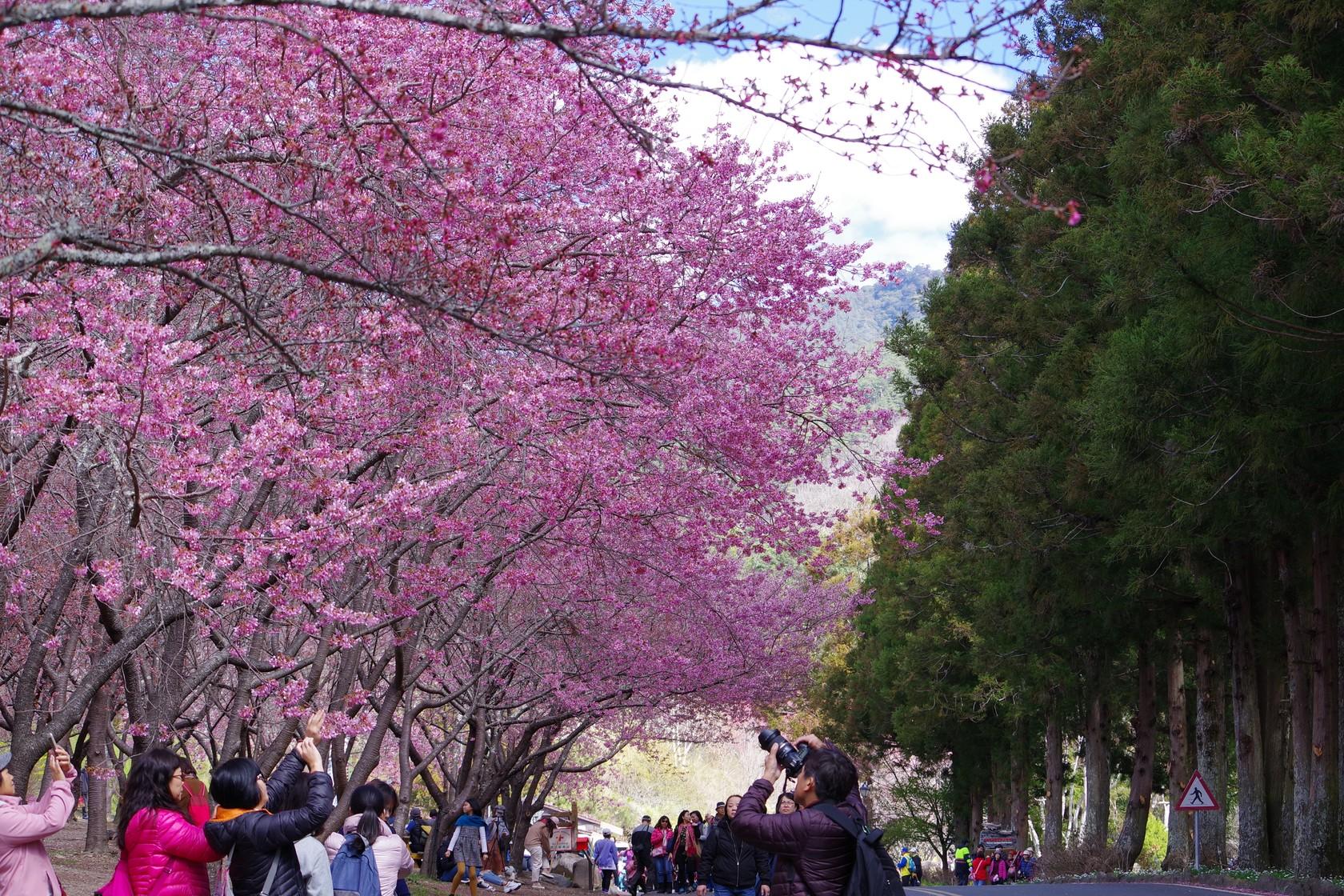 武陵遊客中心櫻花區
