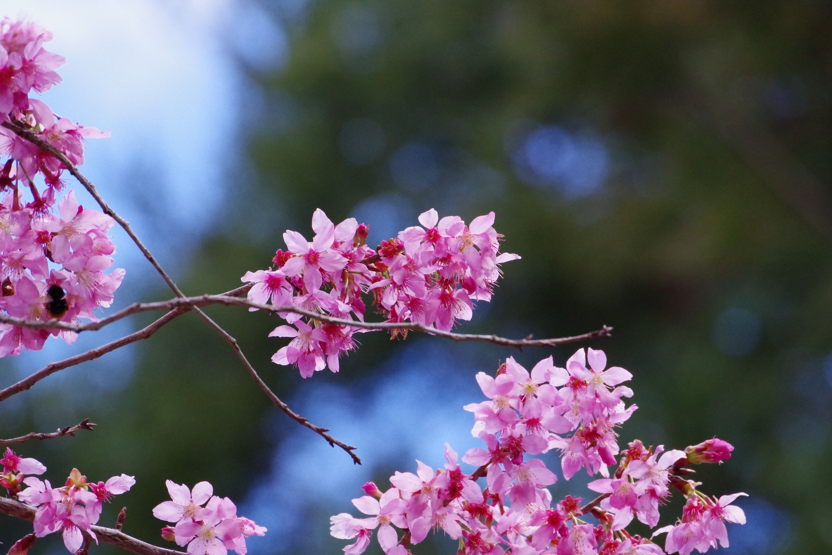 遊客中心櫻花 - 上午