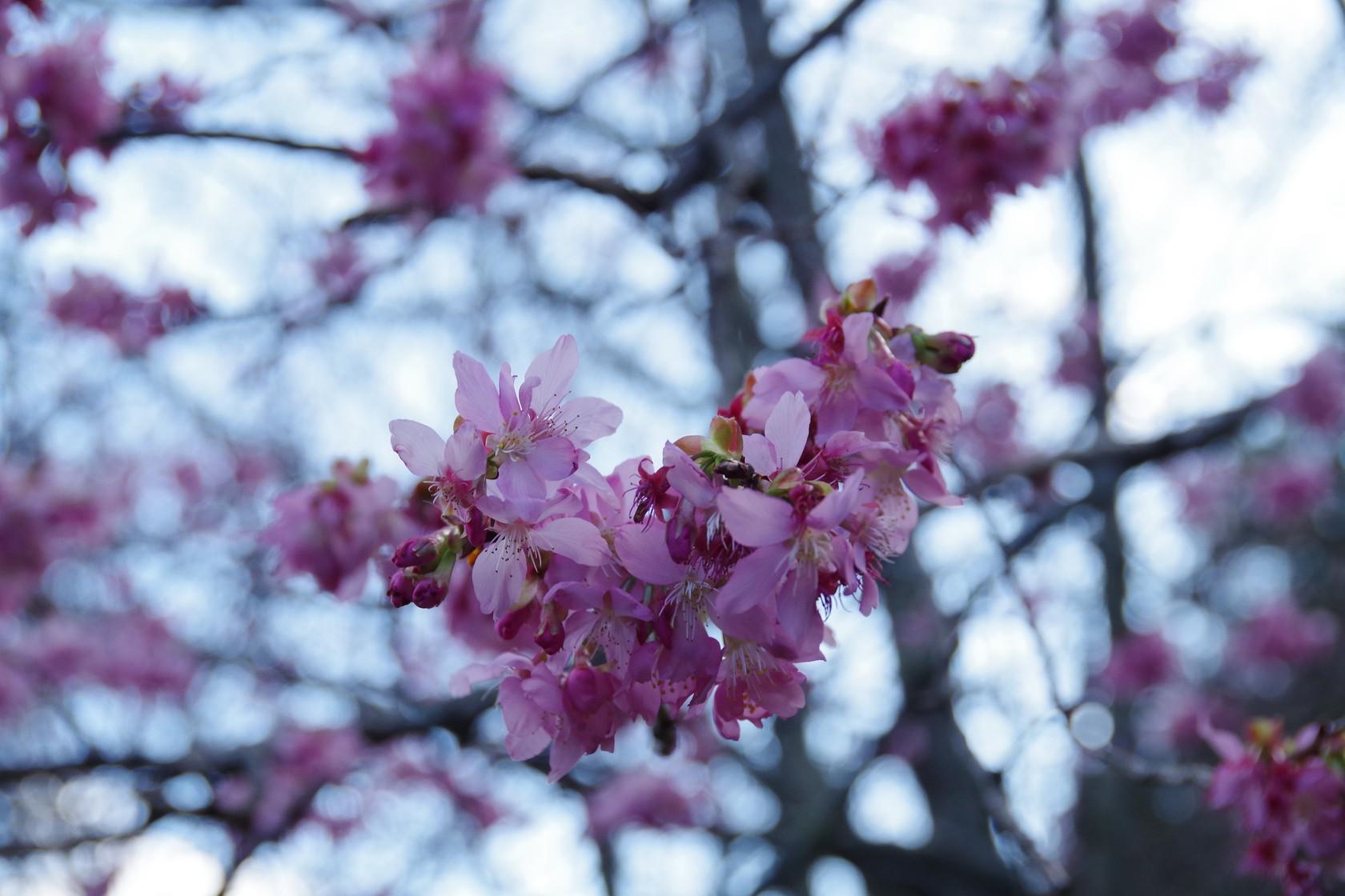 雪霸警察隊武陵管理站附近的櫻花 - 下午