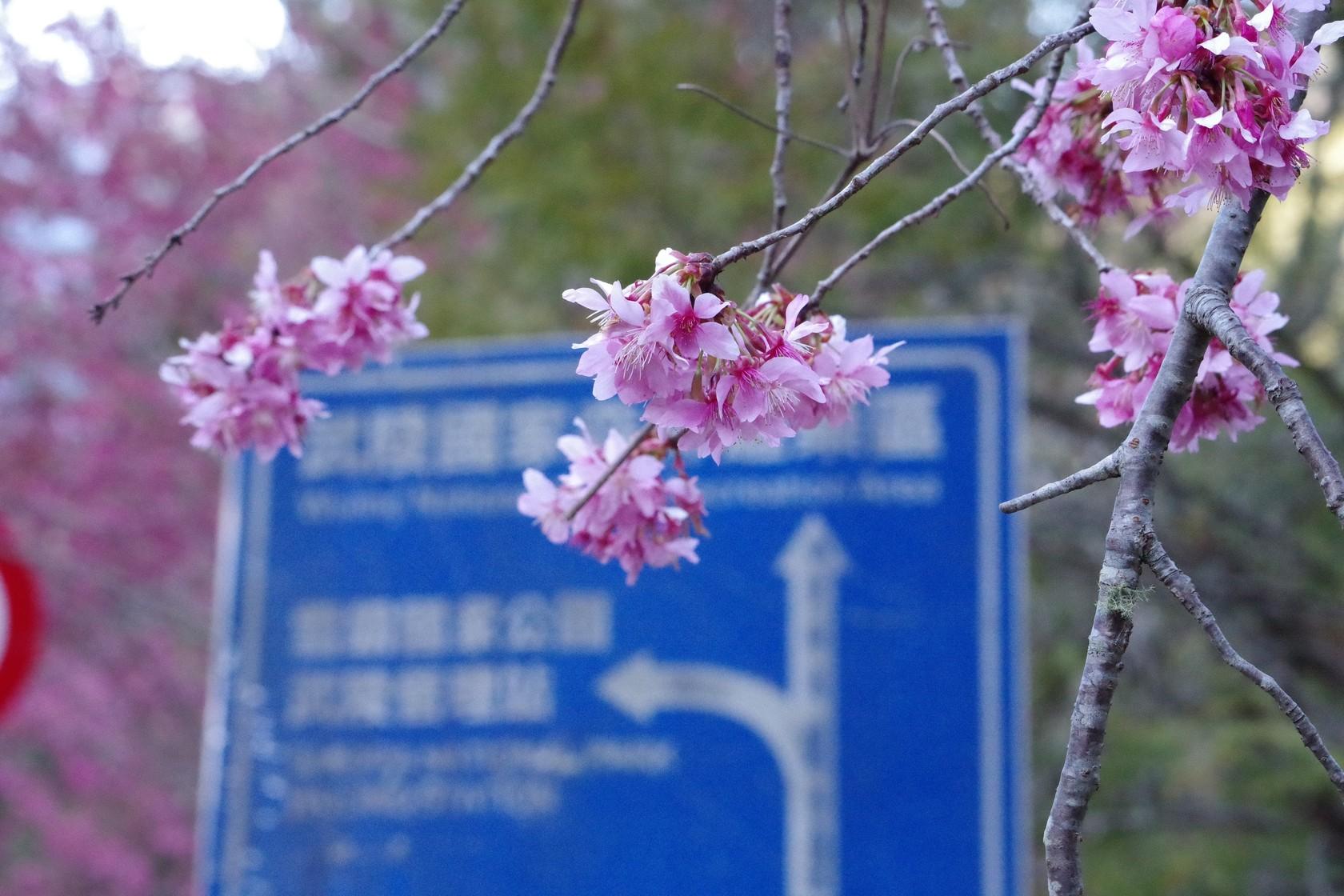 下午的櫻花