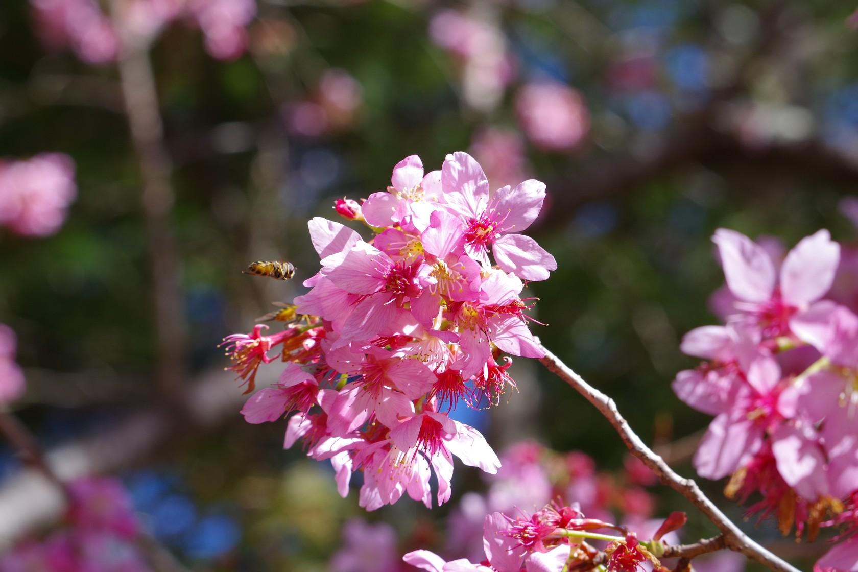 櫻花與密蜂 - 上午