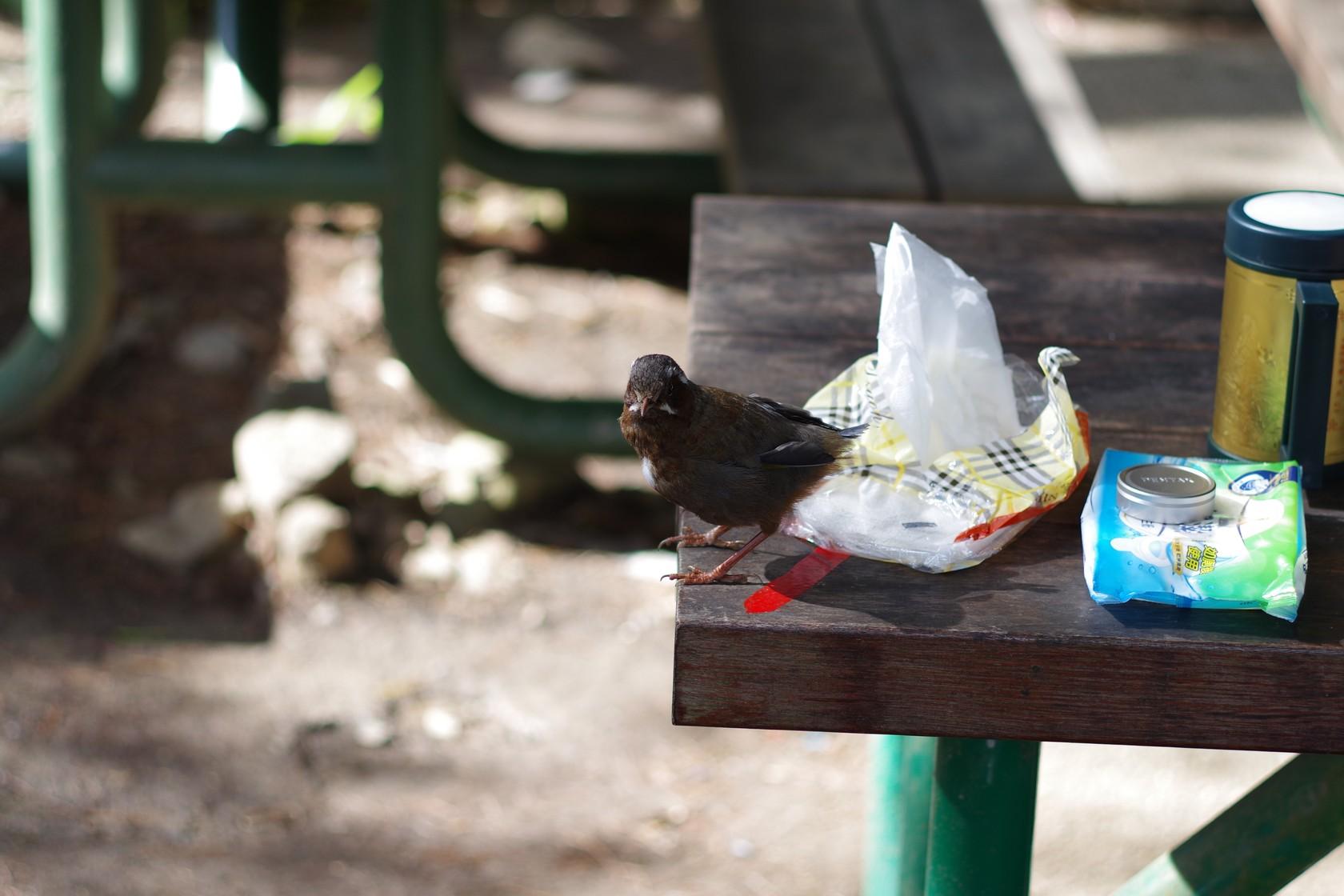跑到餐桌上的鳥兒