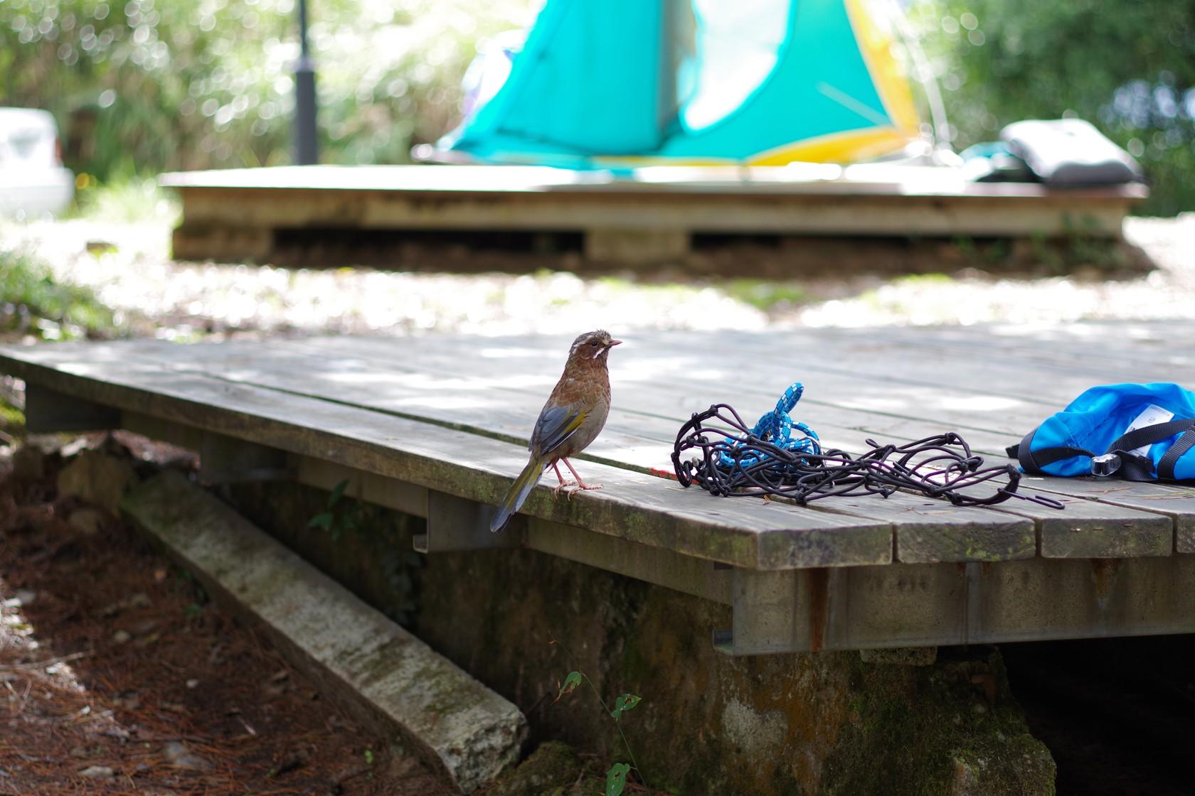 另一隻覓食中的鳥