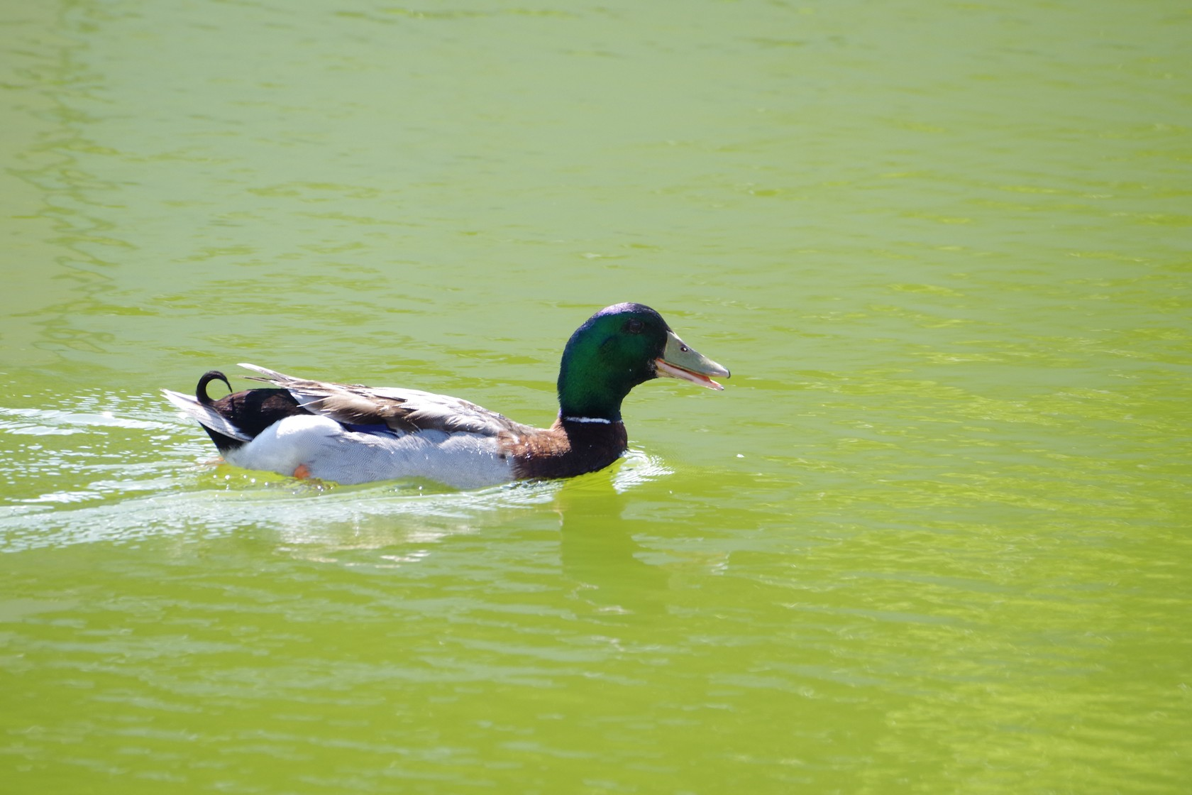三角埤公園水塘的鴨子