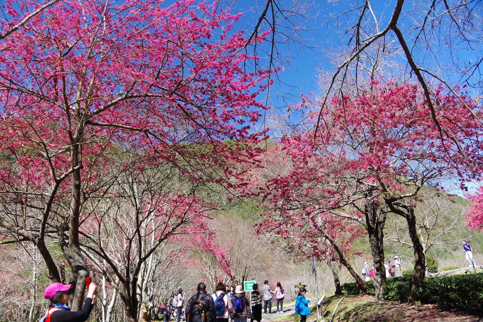 兆豐櫻花園